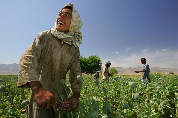 Kabul「Afghanistan Farmers Harvest Healthy Crop Of Poppies」:写真・画像(14)[壁紙.com]