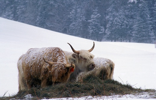 Yak「Two Yaks Grazing in a Snow-covered (snow Covered) Field Against Evergreens」:スマホ壁紙(9)