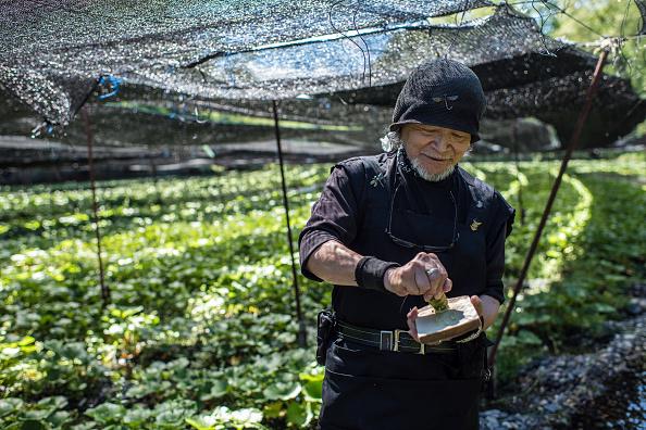 ビジネスと経済「Wasabi Farming In Japan」:写真・画像(13)[壁紙.com]
