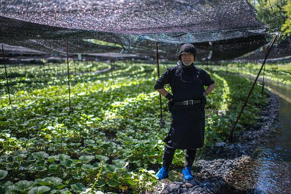 Wasabi「Wasabi Farming In Japan」:写真・画像(3)[壁紙.com]