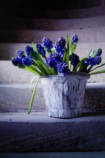 Grape Hyacinth「Grape hyacinths in old bucket on stone steps」:スマホ壁紙(2)