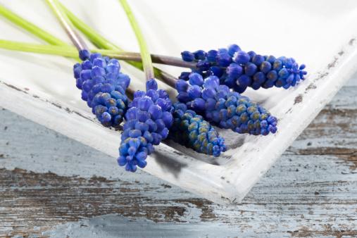 Grape Hyacinth「Grape hyacinth flowers on plate, close up」:スマホ壁紙(16)