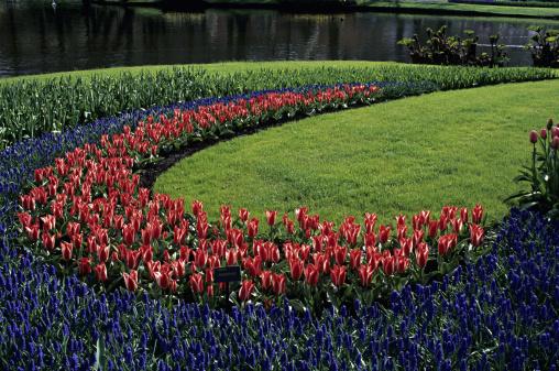 キューケンホフ公園「Grape Hyacinths and tulips in famous Keukenhof Park, Holland」:スマホ壁紙(19)