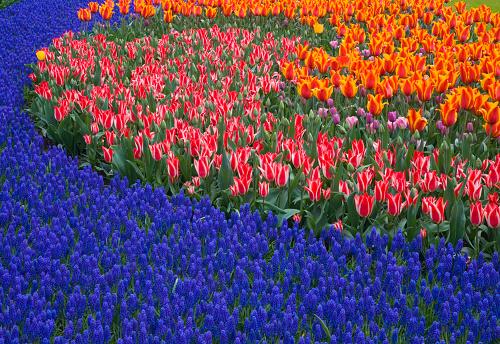 Keukenhof Gardens「Grape Hyacinths and Tulips」:スマホ壁紙(13)