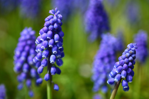 Grape Hyacinth「Grape hyacinth (Muscari latifolium)」:スマホ壁紙(6)