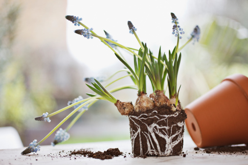 Grape Hyacinth「Grape hyacinth plant removed from flowerpot」:スマホ壁紙(11)