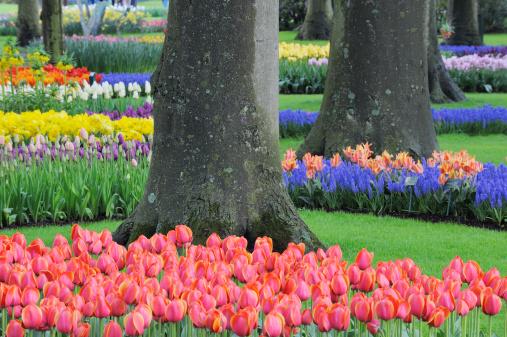 Keukenhof Gardens「Grape Hyacinth and tulips, Keukenhof Gardens」:スマホ壁紙(16)