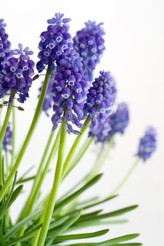 Grape Hyacinth「Grape Hyacinths」:スマホ壁紙(12)