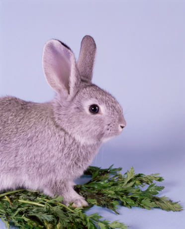 Baby Rabbit「Grey rabbit standing on foliage, side view」:スマホ壁紙(6)