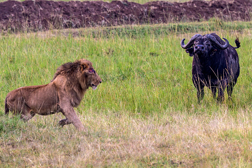 Animals Hunting「African Buffalo chasing male lion.」:スマホ壁紙(4)