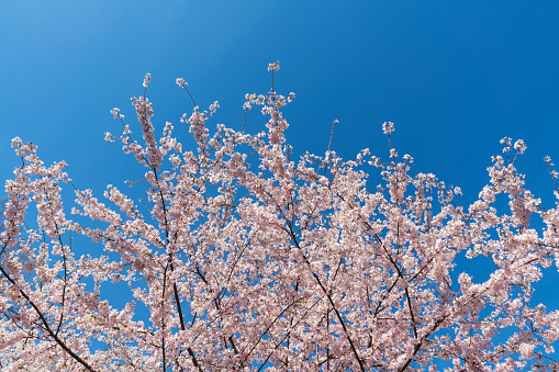 桜「Full-bloomed Cherry blossoms trees in the clear sky at Central Park New York.」:スマホ壁紙(7)