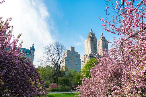 花「Full-bloomed Cherry blossoms trees stand on the lawn in the late afternoon at Central Park New York. The San Remo and architectures of Central Park West Historic District can be seen behind Cherry blossoms.」:スマホ壁紙(5)
