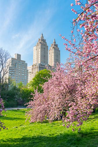花「Full-bloomed Cherry blossoms trees stand on the lawn in the late afternoon at Central Park New York. The San Remo and architectures of Central Park West Historic District can be seen behind Cherry blossoms.」:スマホ壁紙(3)