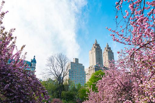 花「Full-bloomed Cherry blossoms trees stand on the lawn in the late afternoon at Central Park New York. The San Remo and architectures of Central Park West Historic District can be seen behind Cherry blossoms.」:スマホ壁紙(15)