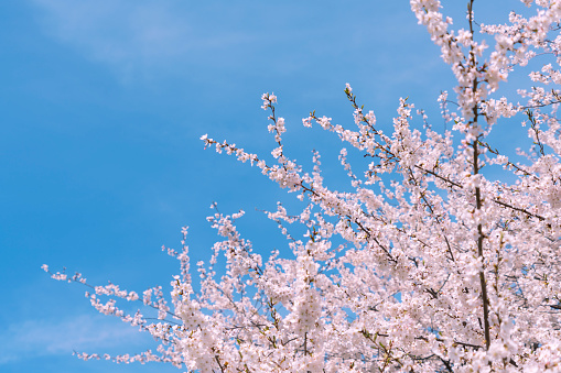 Cherry Tree「Full-bloomed Cherry blossoms in the clear sky at Central Park New York.」:スマホ壁紙(9)