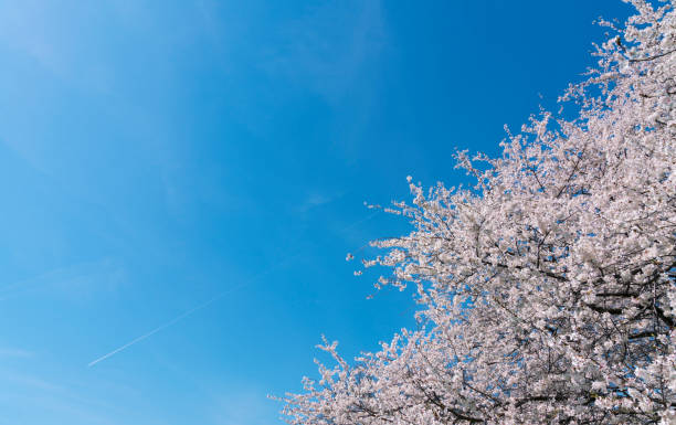 Full-bloomed Cherry blossoms in the clear sky at Central Park New York.:スマホ壁紙(壁紙.com)