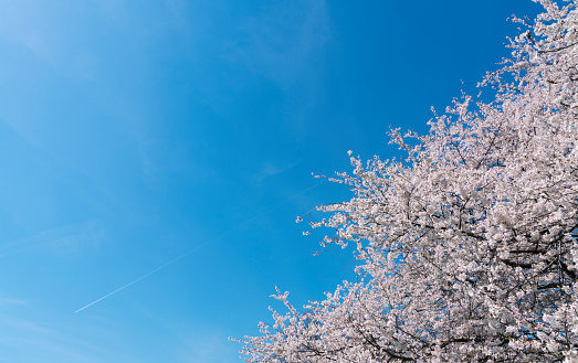 Cherry Tree「Full-bloomed Cherry blossoms in the clear sky at Central Park New York.」:スマホ壁紙(10)