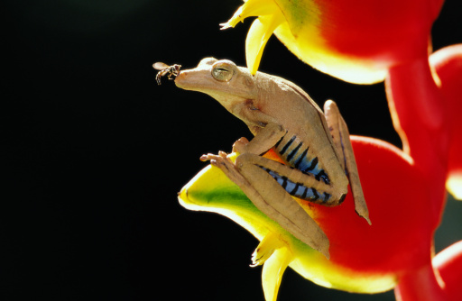 Heliconia「Fly on nose of tree frog (Hylidae)」:スマホ壁紙(12)