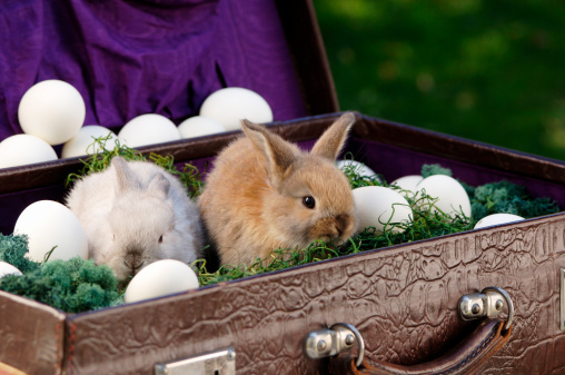 Easter Bunny「Rabbits sitting in briefcase with eggs, close-up」:スマホ壁紙(17)