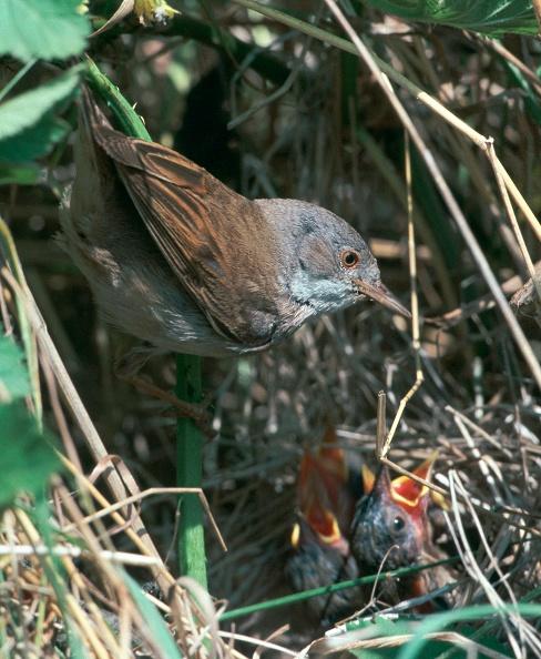 Beak「Common Whitethroat.」:写真・画像(16)[壁紙.com]