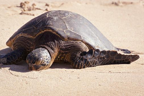 Green Turtle「A Turtle On Laniakea Beach (Turtle Beach) On The North Shore」:スマホ壁紙(3)