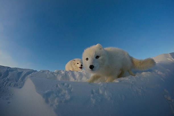 Polar foxes looking for prey in the snowy tundra.:スマホ壁紙(壁紙.com)