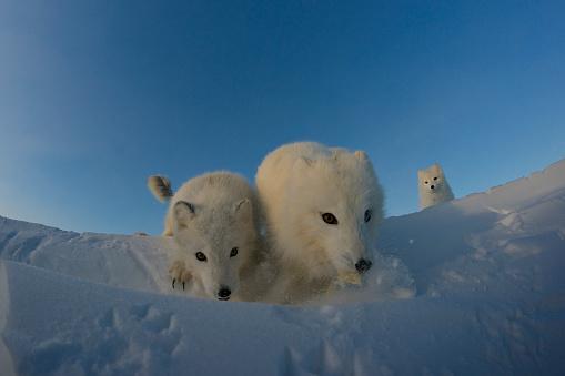Arctic Fox「Polar foxes looking for prey in the snowy tundra.」:スマホ壁紙(19)