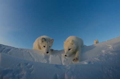 Arctic Fox「Polar foxes looking for prey in the snowy tundra.」:スマホ壁紙(2)