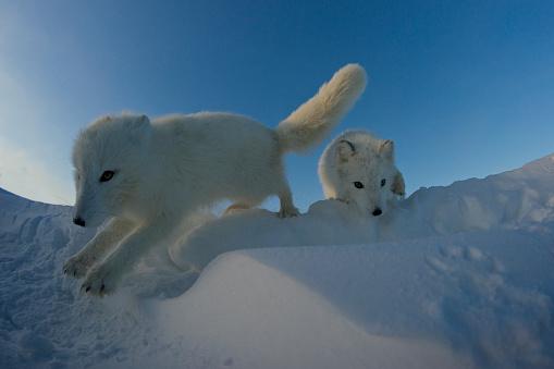 Arctic Fox「Polar foxes looking for prey in the snowy tundra.」:スマホ壁紙(1)