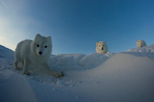 Arctic Fox「Polar foxes looking for prey in the snowy tundra.」:スマホ壁紙(12)