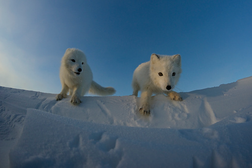 Arctic Fox「Polar foxes looking for prey in the snowy tundra.」:スマホ壁紙(11)