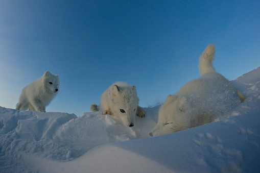 Arctic Fox「Polar foxes looking for prey in the snowy tundra.」:スマホ壁紙(8)