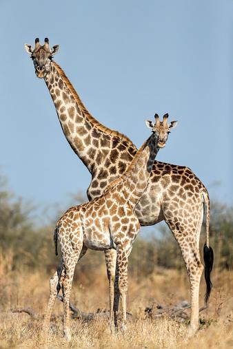 Giraffe「Giraffe and Calf, Chobe National Park, Botswana」:スマホ壁紙(19)