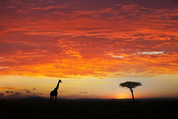 Giraffe and acacia tree at sunset:スマホ壁紙(壁紙.com)