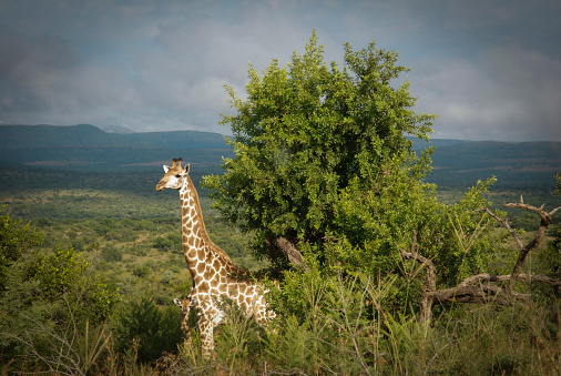 Giraffe「A giraffe and her offspring, Hluhluwe-Imfolozi Game Reserve.」:スマホ壁紙(10)