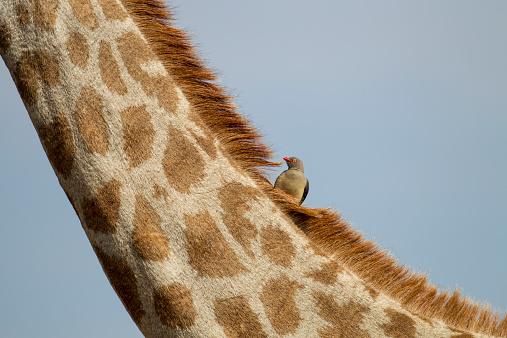 Symbiotic Relationship「Giraffe and Red-Billed Oxpecker, Botswana」:スマホ壁紙(14)
