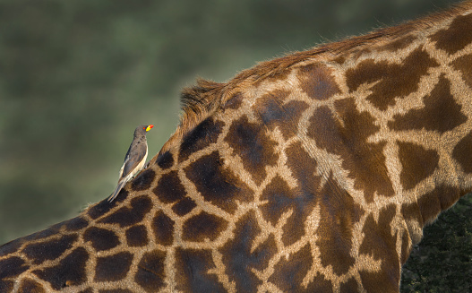 Giraffe「Giraffe and oxpecker」:スマホ壁紙(15)
