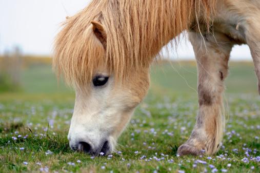 Horse「White Shetland Pony Grazing」:スマホ壁紙(1)