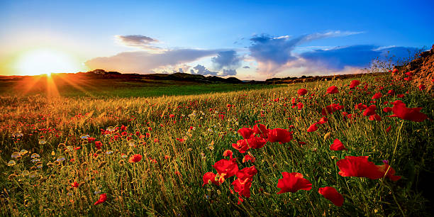 Spain, Menorca, Field of poppy flowers:スマホ壁紙(壁紙.com)