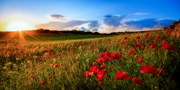 花畑「Spain, Menorca, Field of poppy flowers」:スマホ壁紙(9)