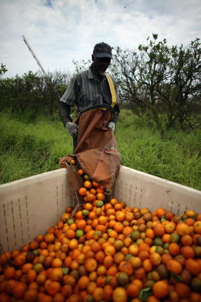 Orange - Fruit「Citrus Greening Diseases Threatens Florida's Orange Industry」:写真・画像(10)[壁紙.com]