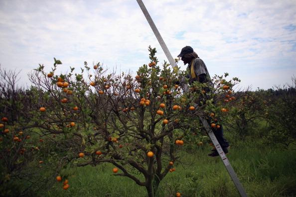 Orange - Fruit「Citrus Greening Diseases Threatens Florida's Orange Industry」:写真・画像(15)[壁紙.com]