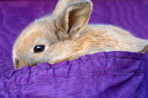 Easter Bunny「Rabbit on purple cloth」:スマホ壁紙(2)