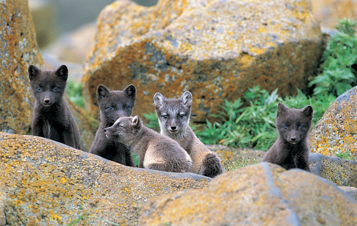 Arctic Fox「Arctic Blue Fox, Pribilof Islands, St Pauls, Alaska, USA」:スマホ壁紙(10)