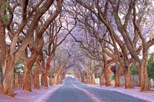Pretoria「Country road and Jacaranda trees, Pretoria, South Africa」:スマホ壁紙(6)