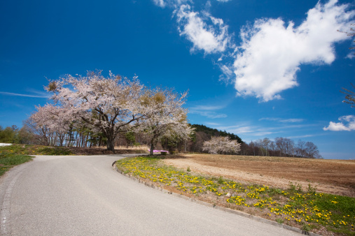 Cherry Blossom「Country Road and Cherry Blossom Blooming in the Field」:スマホ壁紙(1)
