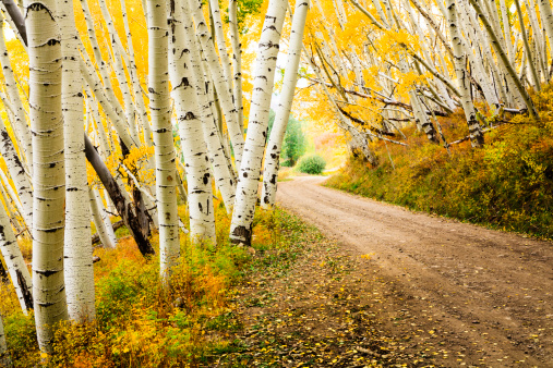 Aspen Tree「country road through canopy of autumn aspen trees」:スマホ壁紙(0)