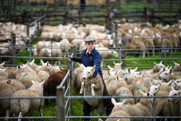 Agriculture「Largest One Day Sheep Sale Takes Place In Lairg」:写真・画像(9)[壁紙.com]