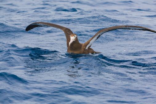 Albatross「Antipodean albatross, wings outstretched」:スマホ壁紙(11)