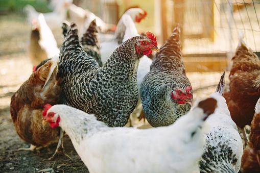 Hen「Free range chickens」:スマホ壁紙(13)